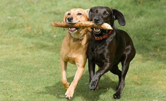 狗狗乱伦怎么办?狗狗近亲繁殖有什么优缺点